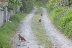 Chickens in Annascaul